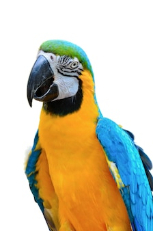 Bliska ara niebieska i złota, nazwa naukowa ara ararauna, piękna papuga z jasnym niebieskim i żółtym kolorowym, zwierzę lub dzika przyroda na białym tle