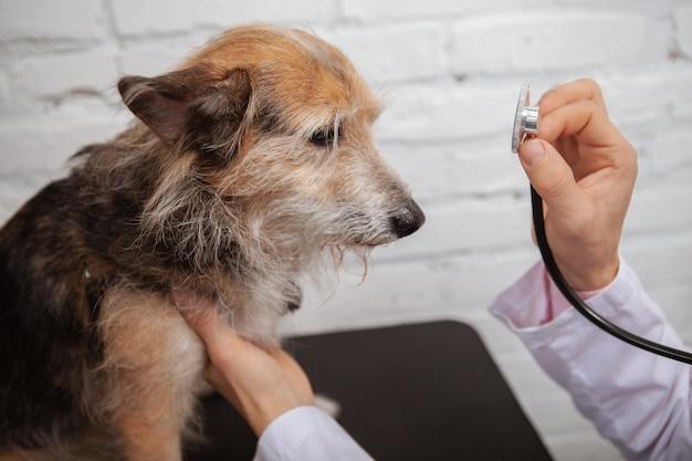 Bliska bezpańskiego psa rasy mieszanej smutny patrząc na badanie lekarskie przez profesjonalnego weterynarza