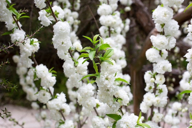 Bliska chińska wiśnia krzew alba plena o nazwie chińska śliwka lub karłowaty migdał kwitnący z bliska szczegółowe zdjęcie w tle kwiatowy