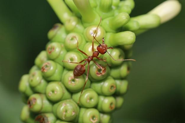 Bliska czerwona mrówka na plaży morwy w przyrodzie w tajlandii