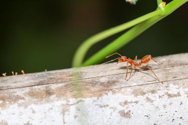 Bliska czerwona mrówka w naturze