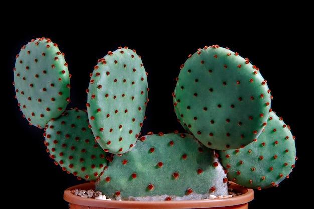Bliska detial kaktusa opuncja rufida w doniczce do sadzenia