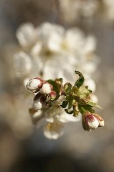 Bliska drzewo biały kwiat wiśni na wiosnę