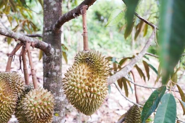Bliska duriana król owoców