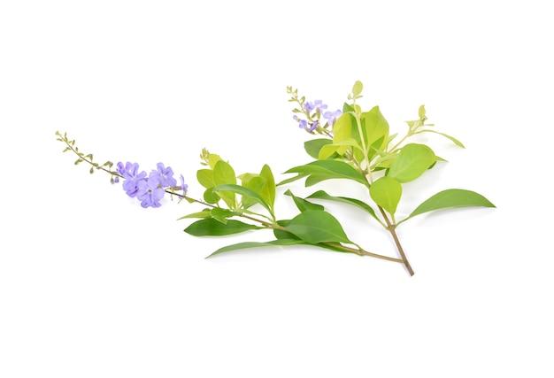 Bliska fioletowy kwiat vitex trifolia linn lub indian privet.
