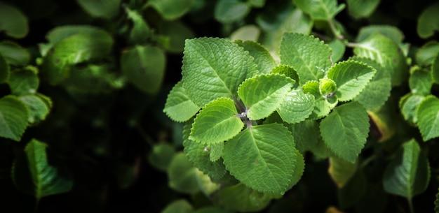 Bliska górny krzew liści mięty zielonej w rozmiarze transparentu