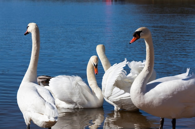 Bliska grupa łabędzi wiosną, piękna grupa ptactwa wodnego ptak łabędź na jeziorze wiosną, jeziorze lub rzece z łabędziami