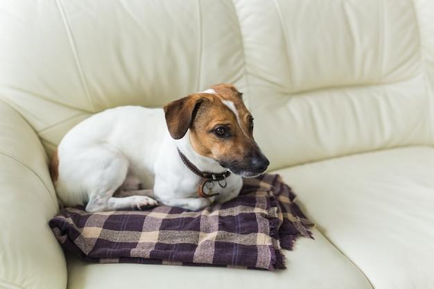 Bliska jack russell terrier pies senny kaganiec portret na kratę.
