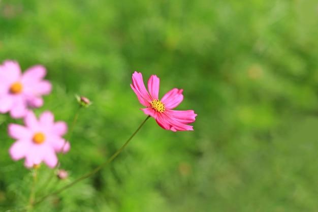 Bliska kosmos kwiat kwitnący w letnim ogrodzie w przyrodzie