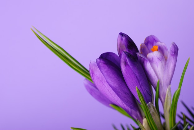 Bliska krokus kwiat