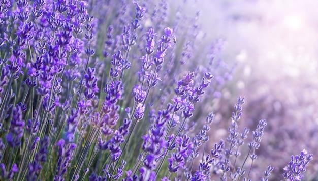 Bliska krzewy lawendowo-fioletowych aromatycznych kwiatów na lawendowym polu w lecie