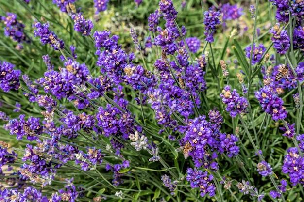 Bliska krzewy lawendy fioletowe aromatyczne kwiaty w lawendowym polu. zbliżenie: kwiat lawendy w letni dzień w ogrodzie.