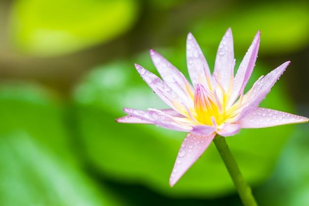 Bliska kwiat lilii wodnej
