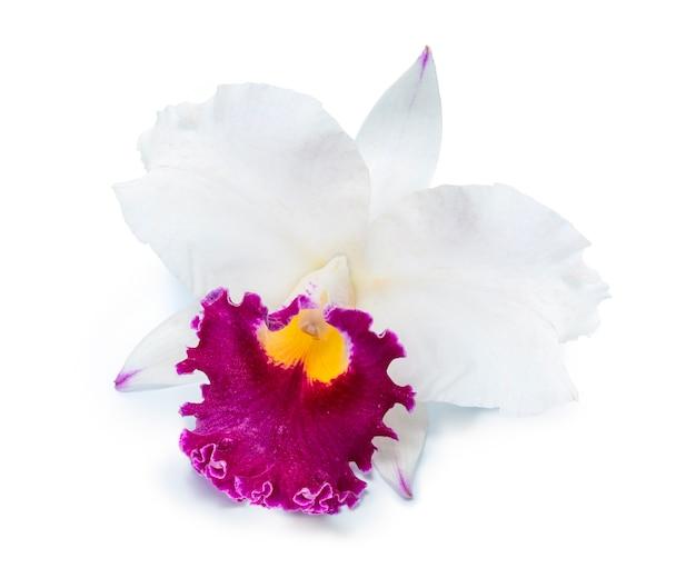 Bliska kwiat orchidei cattleya na białym tle
