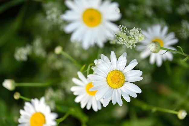Bliska kwitnące białe kwiaty rumianku w polu latem