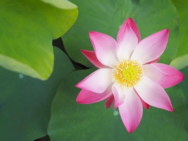 Bliska kwitnące różowe lilia wodna i zielone liście, widok z góry.