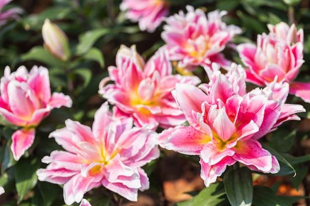 Bliska lilly kwitnący kwiat w ogrodzie.