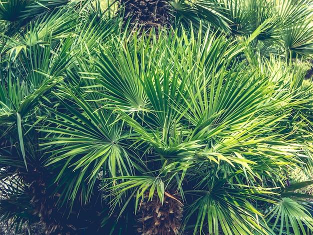Bliska liście palmy stonowane lato egzotyczne.