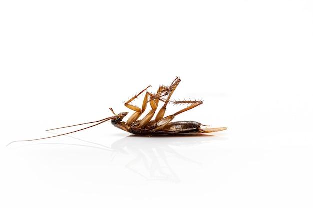Bliska martwy karaluch na białym tle na białym tle.