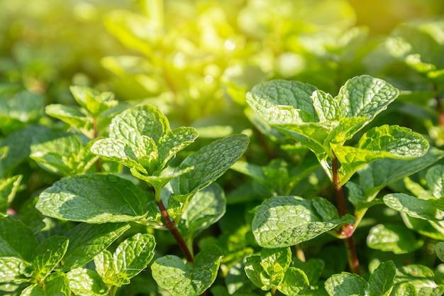 Bliska mięta liście roślin rosną w ekologicznym ogrodzie warzywnym