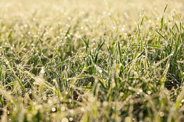 Bliska młode rośliny trawiaste zielona pszenica rosnąca na polach uprawnych, rolnictwo, poranna rosa na liściach,
