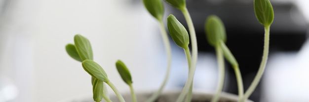 Bliska młode zielone kiełki rosną w glinianym garnku