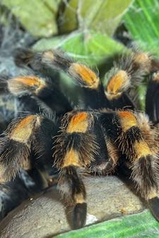 Bliska nogi pająk tarantula, brachypelma boehmei