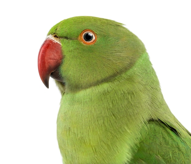 Bliska papuga obrączkowana, psittacula krameri, znana również jako papuga szyjkowa na tle białej przestrzeni
