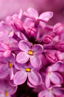 Bliska piękne liliowe tło z lekkimi fioletowymi kwiatami