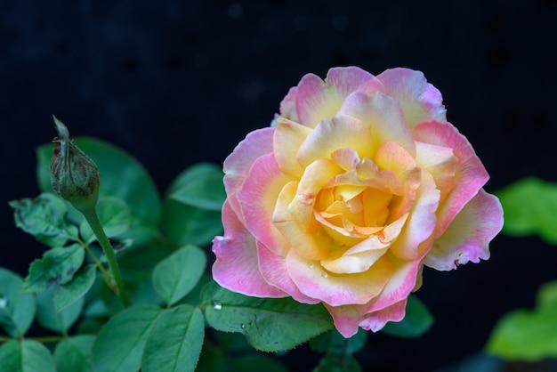 Bliska piękny różowy kwiat róż w ogrodzie na zewnątrz ciemnym tle