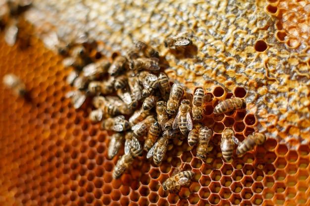 Bliska plaster miodu w drewnianej ramie z pszczół na nim