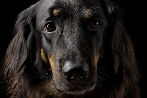 Bliska portret czarnego hovawarta