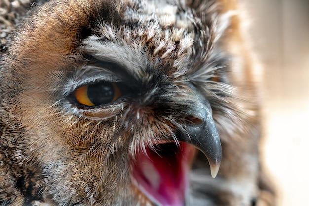 Bliska portret dzikiej sowy krzyczy i odwraca wzrok