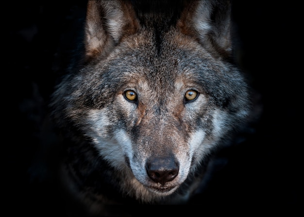 Bliska portret europejskiego wilka szarego na ciemnym tle