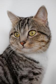 Bliska portret ładny domowy szary i biały kot na białej ścianie