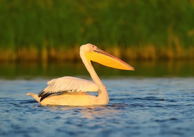 Bliska portret pelikana białego w pięknym porannym świetle.