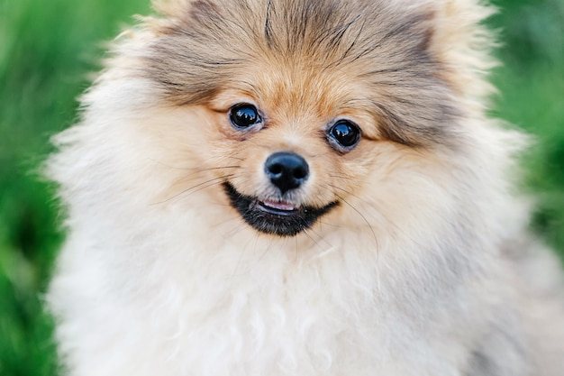 Bliska portret pięknego szczeniaka pomorskiego z uroczym uśmiechem w parku