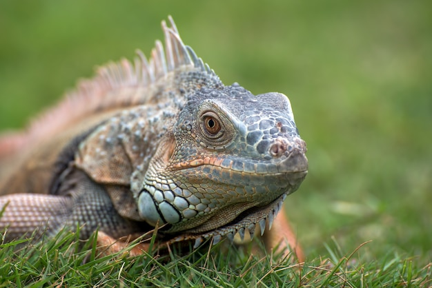 Bliska portret pospolitej iguany