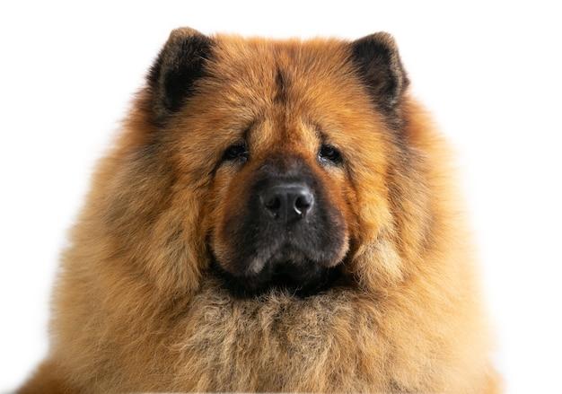 Bliska portret twarz wspaniały pies chow chow na białym tle