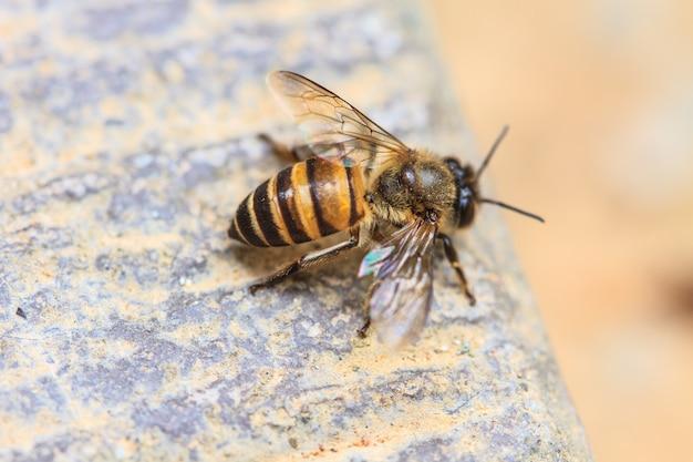 Bliska pszczoła na ziemi