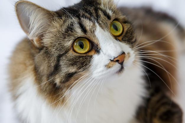 Bliska, puszysty kot w paski z dużymi żółtozielonymi oczami i wąsami