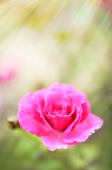 Bliska pyłku pięknych czerwonych róż w ogrodzie na zewnątrz z porannego światła słonecznego, selektywna ostrość