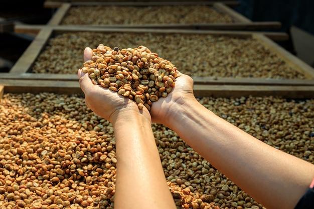 Bliska ręka rolnika trzymająca surowe ziarna kawy do wyschnięcia