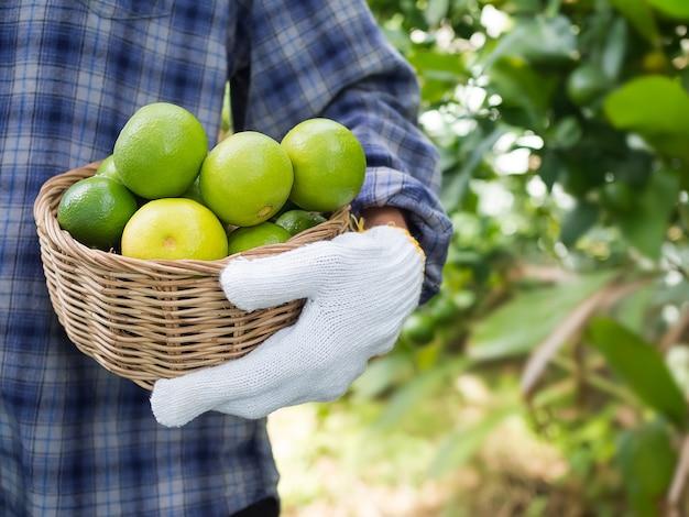 Bliska rolnik trzyma zielone wapno organiczne warzywa w wiklinowym koszu z koszulą.