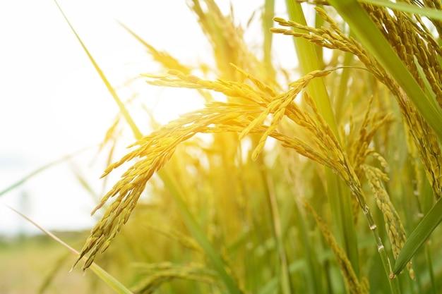 Bliska roślin ryżu niełuskanego w polu ze światłem słonecznym w godzinach porannych.