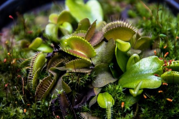 Bliska rośliny mięsożerne, muchołówka venus (dionaea muscipula)