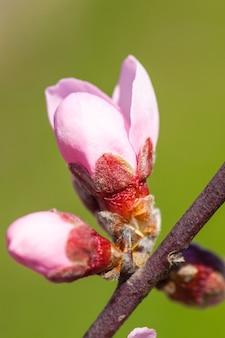 Bliska różowej brzoskwini blossom kwiaty na gałęzi drzewa