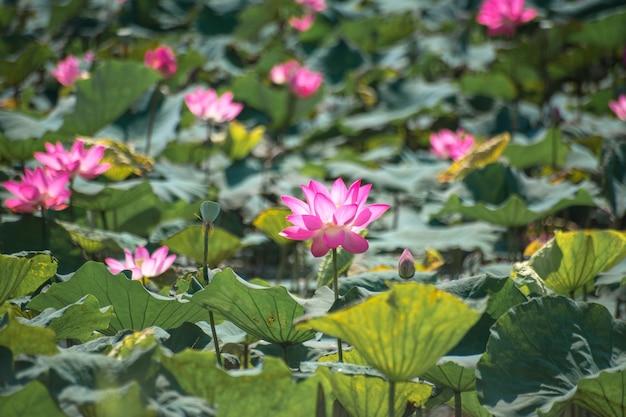 Bliska różowy lotos (nelumbo nucifera gaertn.) w jeziorze, kolorowe różowo-białe płatki z zielonym tłem przyrody