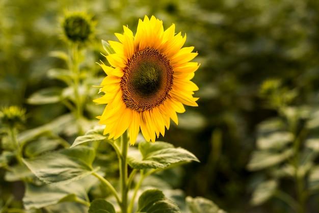 Bliska słonecznika z niewyraźne tło