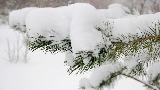 Bliska sosna gałąź pokryta śniegiem. zielone długie igły sosnowe pod stertą białego śniegu. piękna zimowa przyroda.